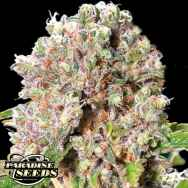 Paradise Seeds Chong's Choice Mendocino Skunk
