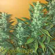 Seedsman Seeds Power Africa Fast