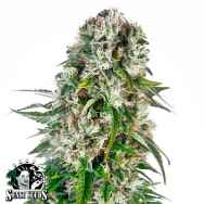 Sensi Seeds Big Bud AUTO
