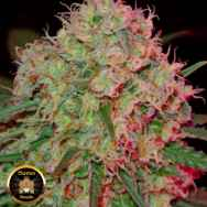 Sumo Seeds Green Mango
