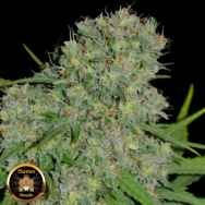 Sumo Seeds Honey Rock