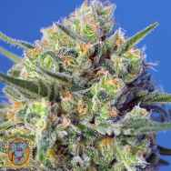 Sweet Seeds Crystal Candy F1 Fast Version