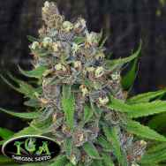 TGA Subcool Seeds Ace of Spades