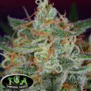 TGA Subcool Seeds Scarlet Queen