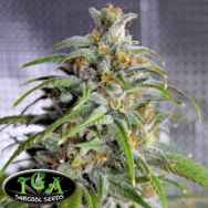TGA Subcool Seeds Deadlights