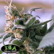TGA Subcool Seeds Lemon Stilton