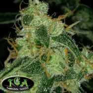 TGA Subcool Seeds Nepali Queen