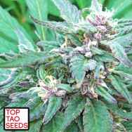 Top Tao Seeds Blueberry Crystal