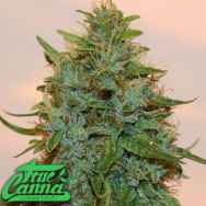 True Canna Genetics Chocolate Thainapple