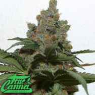 True Canna Genetics Grape Gas