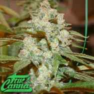 True Canna Genetics Sticky Nicky