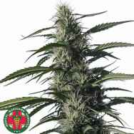 Medical Marijuana Genetics Seeds Txaki (TX-1)