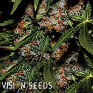 Vision Seeds Mighty Mango Bud