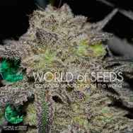 World Of Seeds CBD Collection AUTO Tonic Ryder