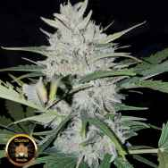 Sumo Seeds AUTO White Cheese