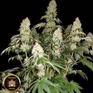 Sumo Seeds White Caramel Cookie