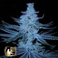 Lady Sativa Genetics Seeds Super Orange Glue