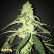 Pot Valley Seeds Her Majesty's Kush