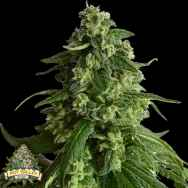 Pot Valley Seeds King's Fudge