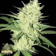 Pot Valley Seeds Orange Snap