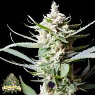 Pot Valley Seeds Sunset Flame