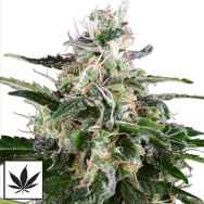 White Label Seeds White Skunk Automatic