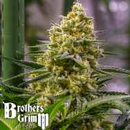 Brothers Grimm Seeds Cindy Haze