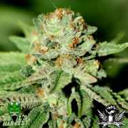 Devil's Harvest Seeds Chiesel