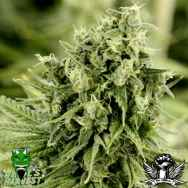 Devil's Harvest Seeds Dazy Jones