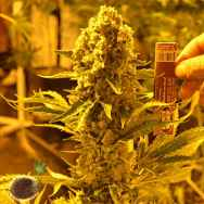Emerald Triangle Seeds Critical 707