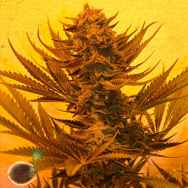 Emerald Triangle Seeds Critical 707 CBD