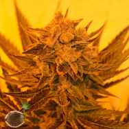 Emerald Triangle Seeds Critical Sour Diesel CBD