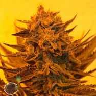 Emerald Triangle Seeds Critical Sour Diesel