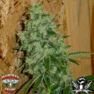 Hazeman Seeds Lemon Stomper