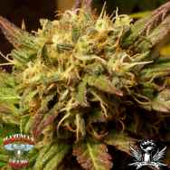 Hazeman Seeds Monkey Balls