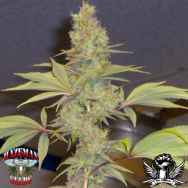 Hazeman Seeds Strawberry Cough
