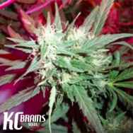 KC Brains KC39