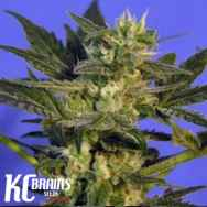 KC Brains KC45