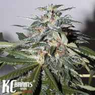 KC Brains KC51 Automatic