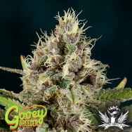 Gooeybreeder Seeds Kona Sunset