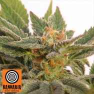 Kannabia Seeds AUTO Kritic 70