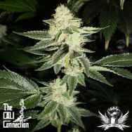 Cali Connection Seeds Louis XIII OG