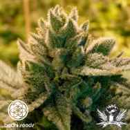 Bodhi Seeds Love Triangle