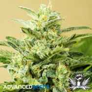 Advanced Seeds Low Girl