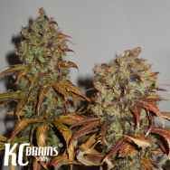 KC Brains Mango