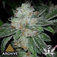 Archive Seeds Casper OG