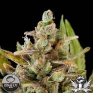 Dinafem Seeds Critical Kush