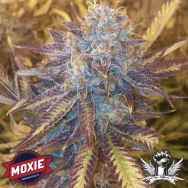Moxie Seeds Grape Kush