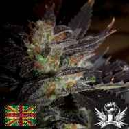 Connoisseur Genetics Seeds Hippy Private Stash