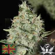 Connoisseur Genetics Seeds Labrador